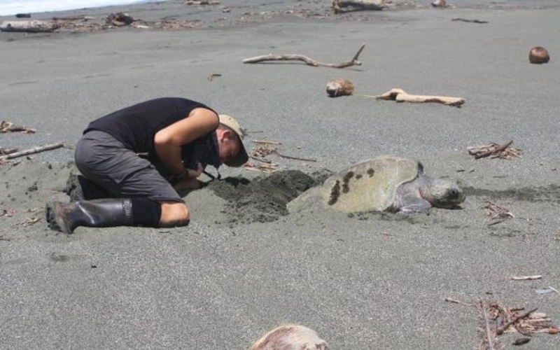 Sea Turtles Volunteering in Guatemala with Frontier Gap
