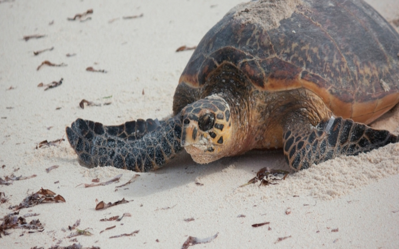 Sea Turtles Volunteering in Seychelles with GVI